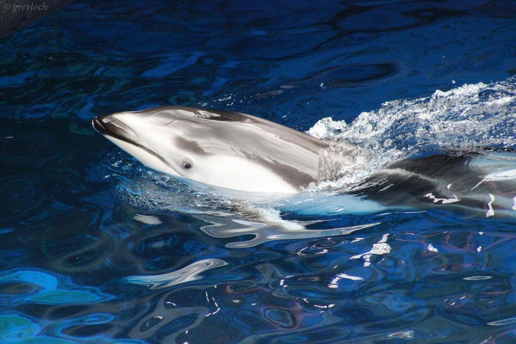 Дельфин, Ванкуверский аквариум