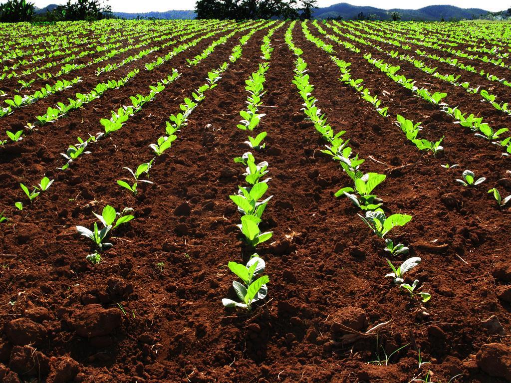 Табачное поле, Виньялес