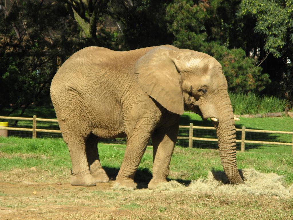 Слон в зоопарке Йоханнесбурга