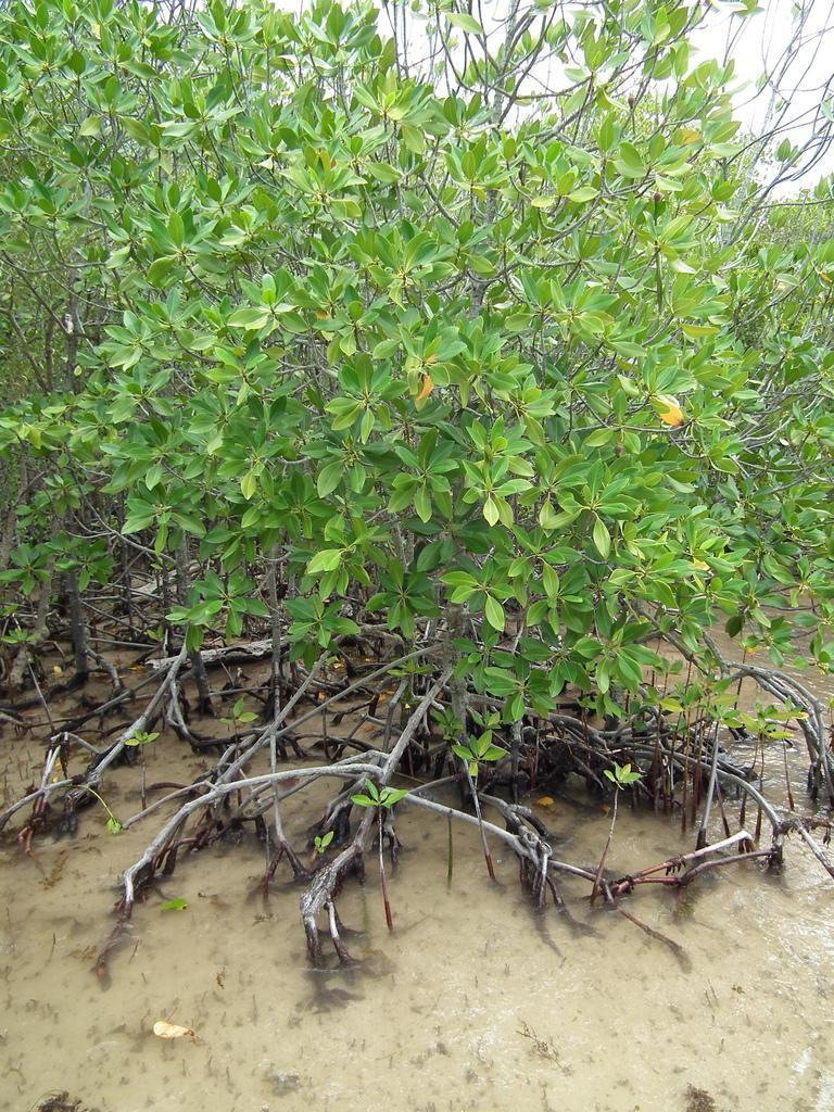 Мангровые деревья на острове Курьез