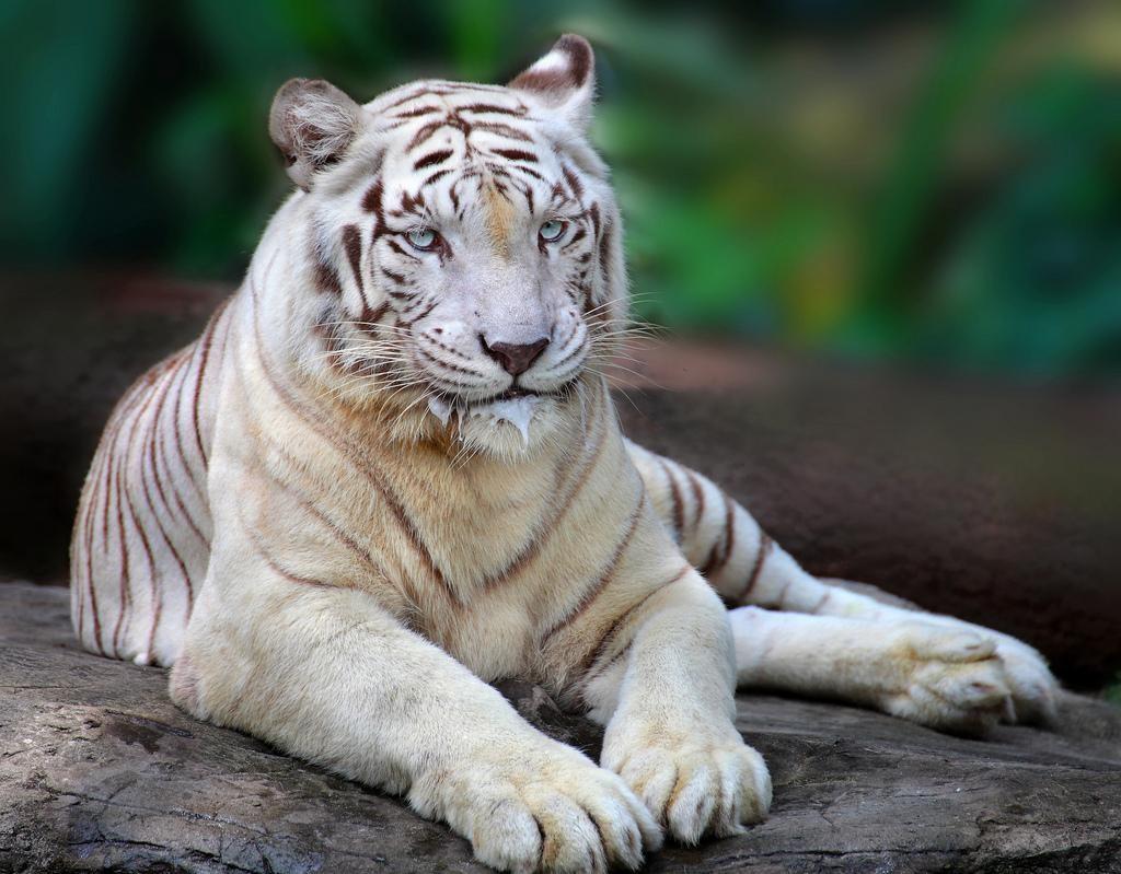 Бенгальский тигр в зоопарке Сингапруа